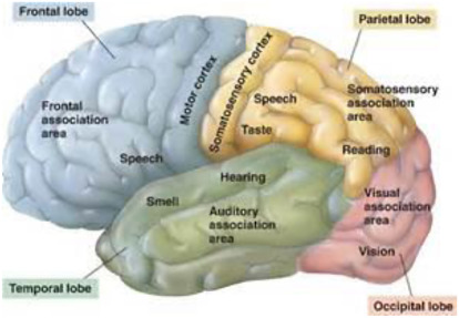frontal lobe an overview sciencedirect topics