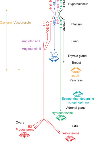 Endocrine System An Overview ScienceDirect Topics
