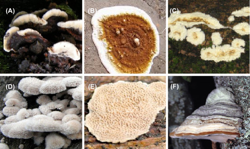 Fomes Fomentarius - an overview | ScienceDirect Topics