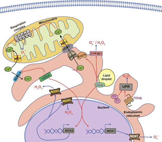Oxidative Stress in Hepatitis C Infection - ScienceDirect