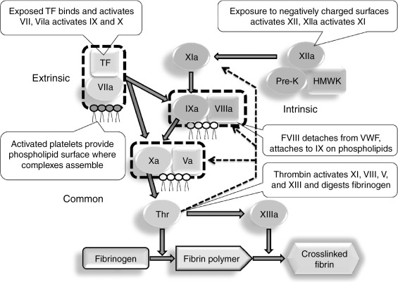 overview of hemostasis and thrombin tf tissue factor hmwk