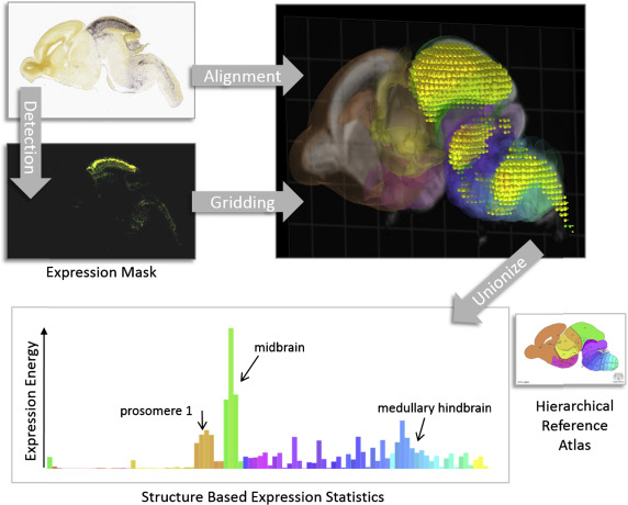 Brain Atlas - an overview | ScienceDirect Topics