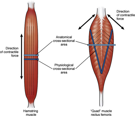 Pennate Muscle An Overview ScienceDirect Topics