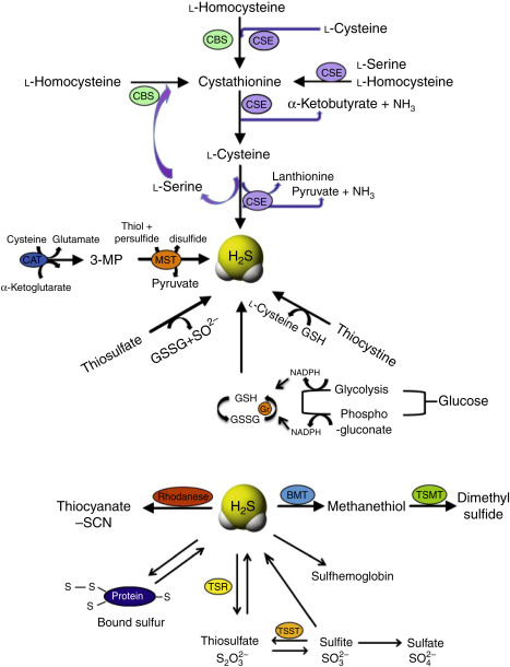 Cooperative Interactions Between No And H2s Chemistry Biology Physiology Pathophysiology Sciencedirect