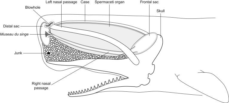 Sperm Whale Physeter Macrocephalus Sciencedirect