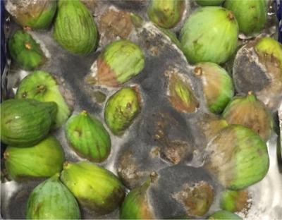 Artificial Fig Fruit Stem 30 Tall