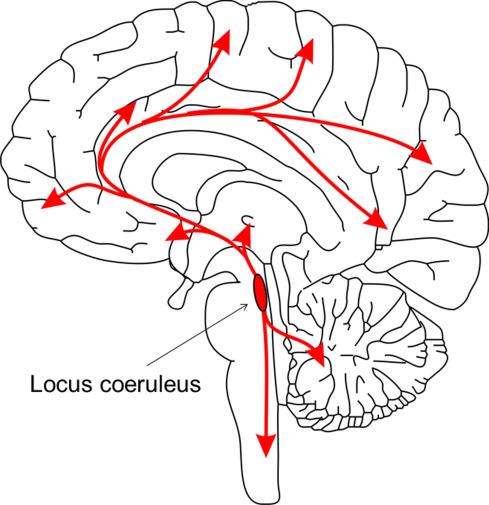 Locus Coeruleus Noradrenergic Neurons and Astroglia in Health and ...