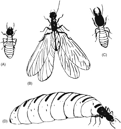 Isoptera - an overview | ScienceDirect Topics