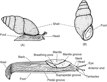 Gastropod - an overview | ScienceDirect Topics