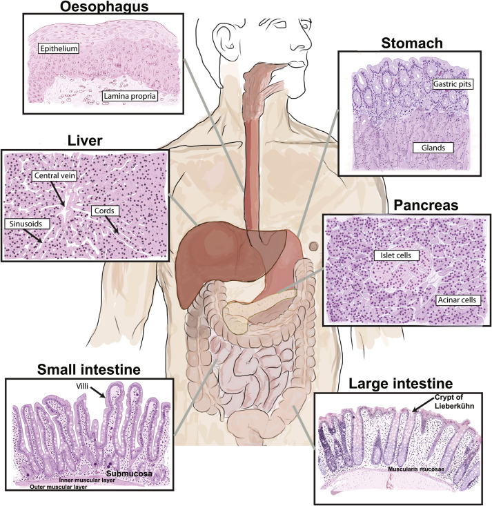 The Gastrointestinal System: Anatomy and Sources of Oxidative Stress ...