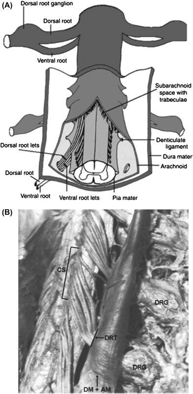 Posterior Root Of Spinal Nerve An Overview Sciencedirect Topics