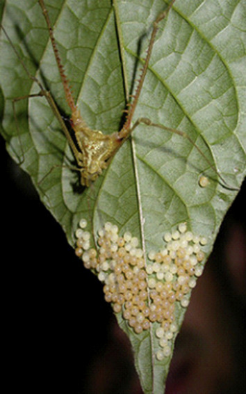 Belostomatidae - an overview | ScienceDirect Topics