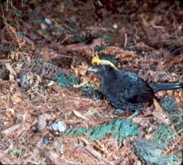 Paradisaeidae - an overview   ScienceDirect Topics
