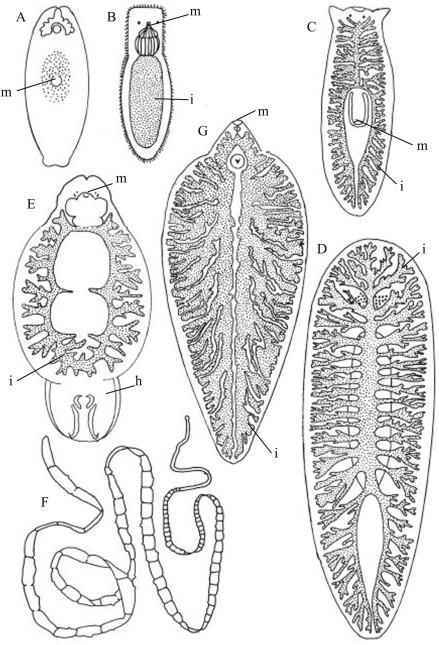 Platyhelminthes triploblasztikus vagy diploblasztikus. Molnar Kinga Bevezetes Az Allattanba