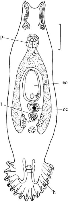 paraziták a gyrodactylus et dactylogyrus ellen