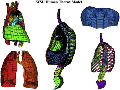 Modeling the Thorax for Impact Scenarios - ScienceDirect