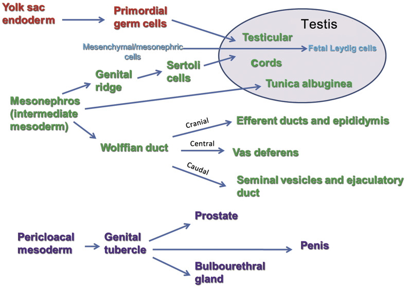 Male Reproductive System Sciencedirect
