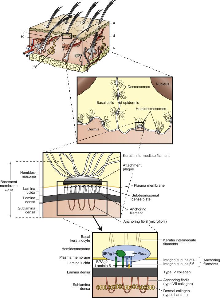 Dermoepidermal Junction An Overview Sciencedirect Topics