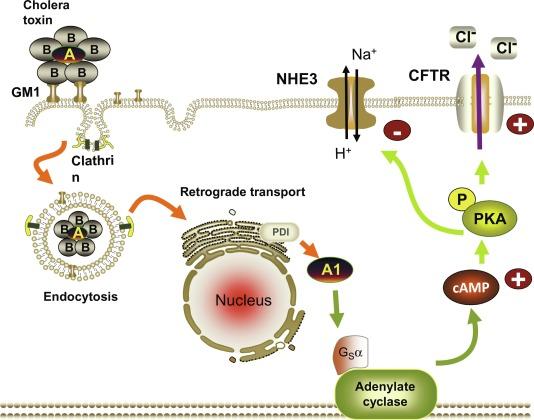 Host-Pathogen Interactions in Pathophysiology of Diarrheal