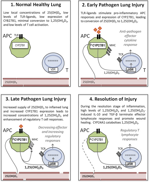 Vitamin D and Adaptive Immunology in Health and Disease