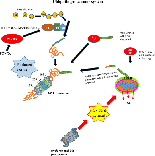 Antioxidants and Polyphenols Mediate Mitochondrial Mediated