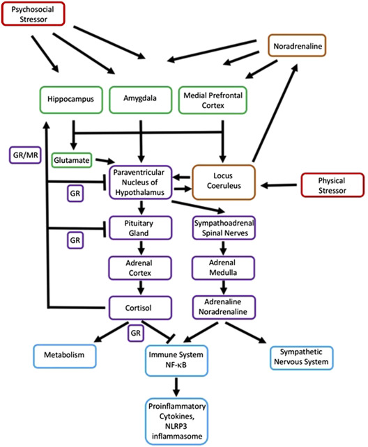 Biological Embedding of Psychosocial Stress Over the Life