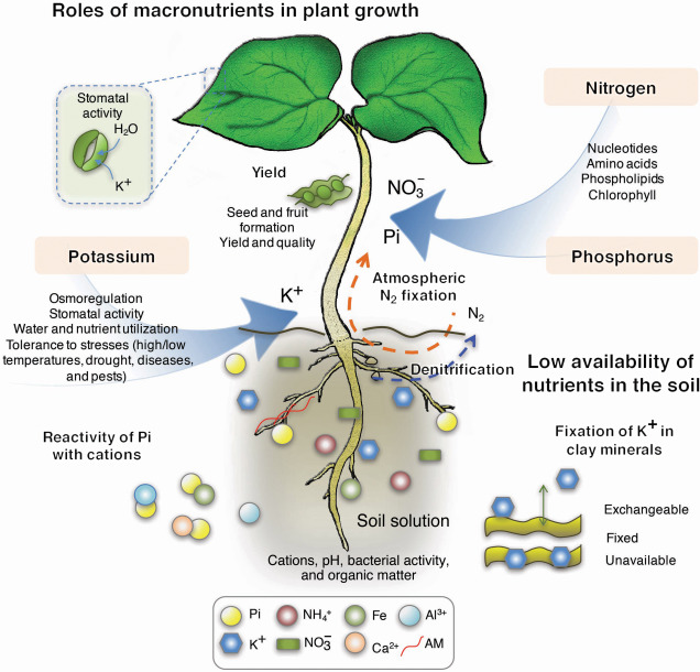 Molecular And Genetic Basis Of Plant Macronutrient Use Efficiency Concepts Opportunities And Challenges Sciencedirect