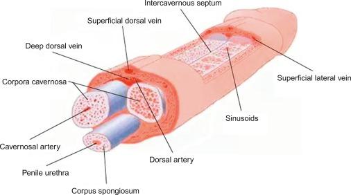 dorsal penis Deep vein of