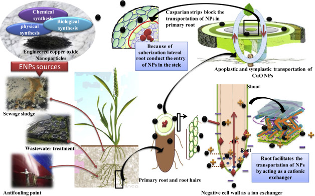 Interaction Of Copper Oxide Nanoparticles With Plants