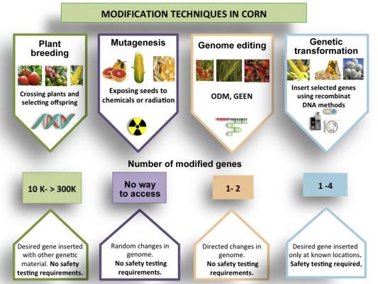 Genetic Modifications of Corn - ScienceDirect