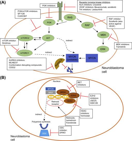 Novel Therapeutic Targets in Neuroblastoma - ScienceDirect