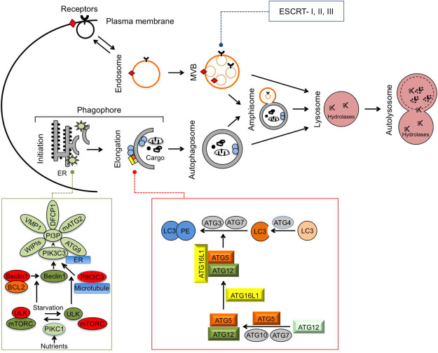 Overview of Autophagy - ScienceDirect