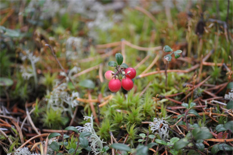 Bogyók lingonberries a prosztatitisből
