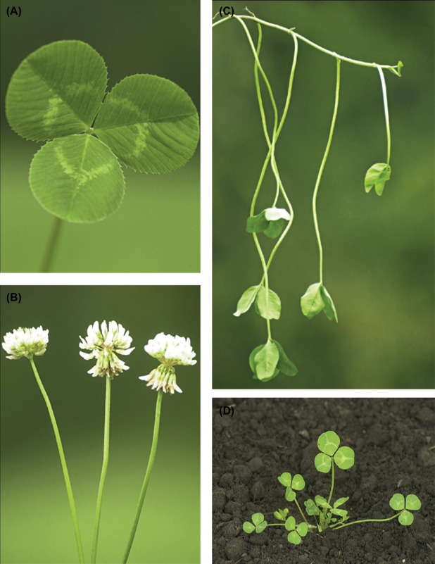 Trifolium Repens An Overview Sciencedirect Topics