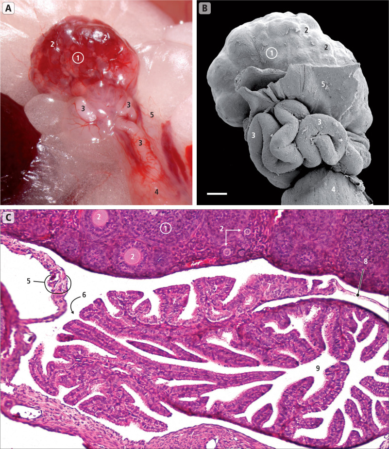 Fallopian Tube An Overview Sciencedirect Topics