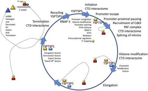 regulatory transcription factors _____