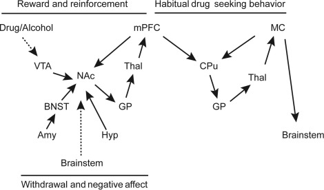 Central Role of Amygdala and Hypothalamus Neural Circuits in Alcohol