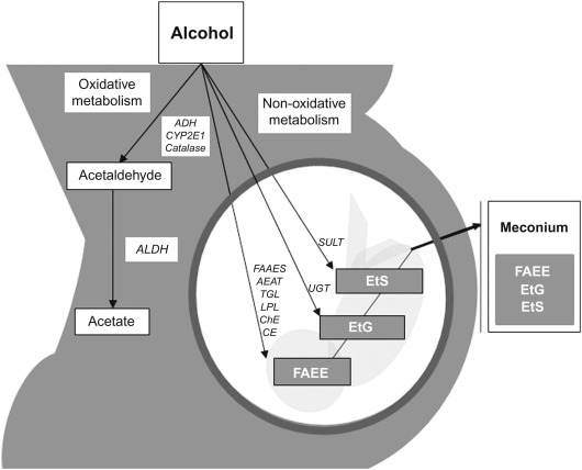 Meconium Biomarkers of Prenatal Alcohol Exposure - ScienceDirect