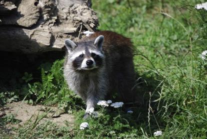 Raccoon - an overview | ScienceDirect Topics