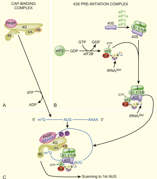 Protein Synthesis An Overview Sciencedirect Topics