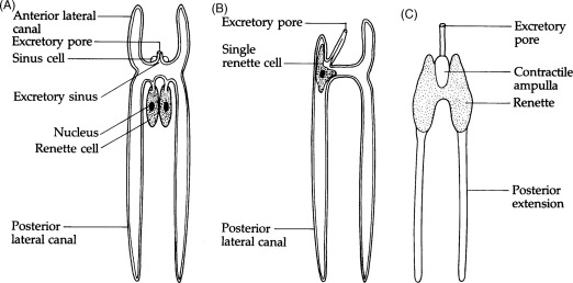 Excretory System An Overview ScienceDirect Topics