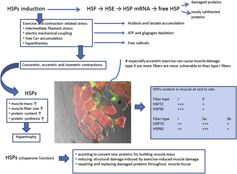 Heat Shock Proteins and the Role of Nutritional Supplements