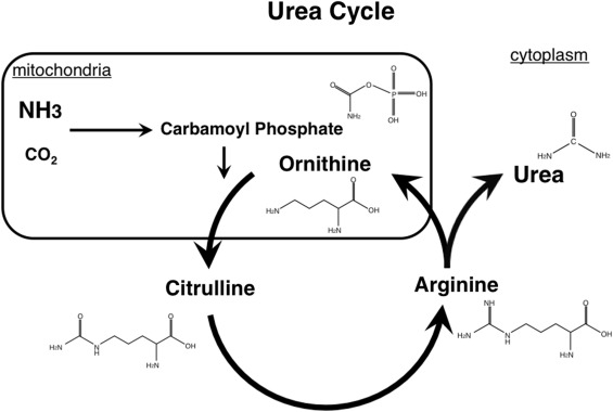 Ornithine - an overview | ScienceDirect Topics