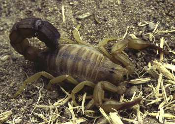 Scorpions (Scorpiones) - ScienceDirect