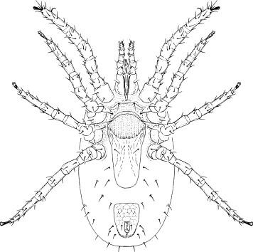 Mites Acari