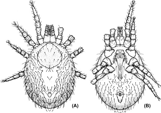 Ornithonyssus - an overview | ScienceDirect Topics