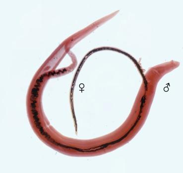 Szalagféreg széles szalaggal. Opisthorchiasis és széles szalag., Butria helminthiasis