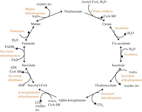 citric acid cycle steps simplified