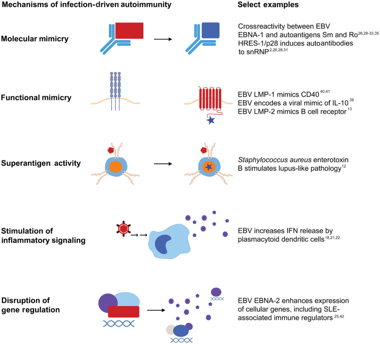 Infections In Early Systemic Lupus Erythematosus Pathogenesis