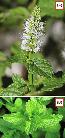 Spearmint - an overview | ScienceDirect Topics